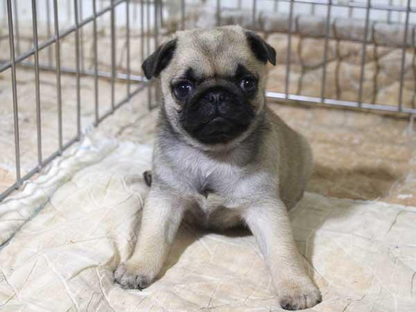 パグ子犬販売情報、フォーン、女の子(メス)、2015年5月7日生れ、千葉県ブリーダー、ID8673
