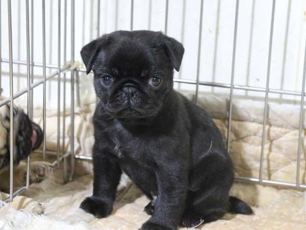 パグ子犬販売情報、ブラック、男の子(オス)、2015年5月7日産まれ、千葉県ブリーダー、ID8674