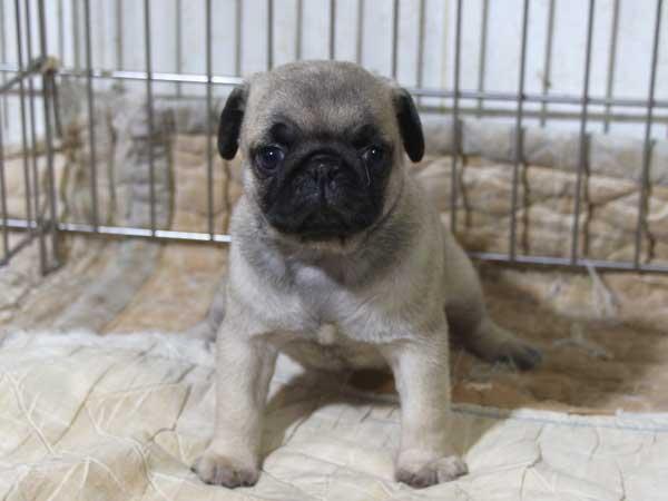 パグ子犬販売情報、フォーン、女の子(メス)、2015年5月7日生れ、千葉県ブリーダー、ID8675