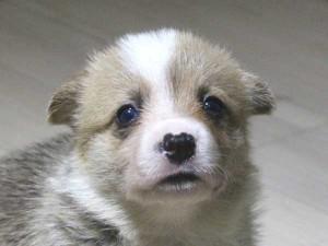 ウェルシュコーギーペンブローク子犬販売情報、レッド&ホワイト、男の子(オス)、2015年5月29日産まれ、神奈川県ブリーダー、ID8698