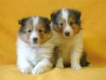 シェットランドシープドッグ(シェルティー、シェルティ)子犬