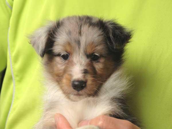 シェットランドシープドッグ(シェルティー)子犬販売、女の子(メス)、ブルーマール、2015年7月6日生れ、東京都ブリーダー、ID8980