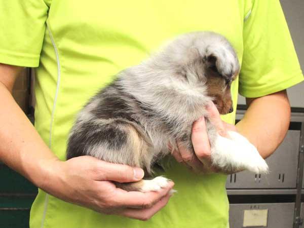 シェットランドシープドッグ(シェルティー)子犬販売情報、女の子(メス)、ブルーマール、2015年7月6日生れ、東京都ブリーダー、ID8980