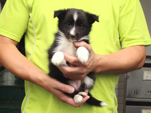 シェットランドシープドッグ(シェルティー)子犬販売情報、女の子(メス)、バイブラック、2015年7月6日生れ、東京都ブリーダー、ID8981