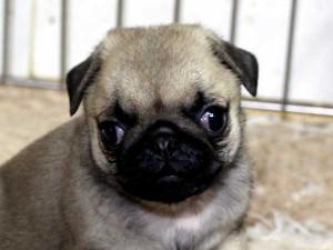 パグ子犬販売情報、男の子(オス)、フォーン、2015年7月9日生れ、千葉県ブリーダー、ID8982