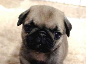 パグ子犬販売情報、フォーン、女の子(メス)、2015年7月9日生れ、千葉県ブリーダー、ID8983