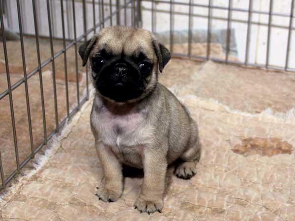 パグ子犬販売情報、フォーン、女の子(メス)、2015年7月9日生れ、千葉県ブリーダー、ID8984