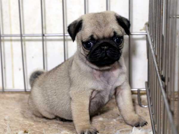 パグ子犬販売情報、男の子(オス)、フォーン、2015年7月15日生れ、千葉県ブリーダー、ID8985