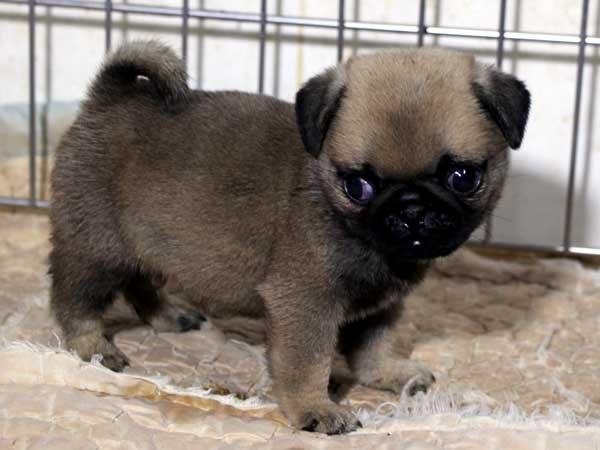 パグ子犬販売情報、男の子(オス)、フォーン、2015年7月15日生れ、千葉県ブリーダー、ID8986
