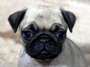 パグ子犬販売情報、女の子(メス)、フォーン、2015年7月15日生れ、千葉県ブリーダー、ID8987
