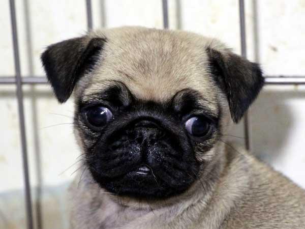 パグ子犬販売情報、女の子(メス)、フォーン、2015年7月15日生れ、千葉県ブリーダー、ID8988