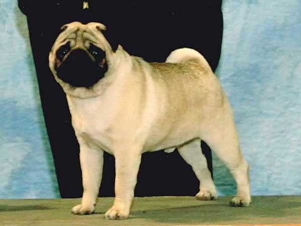 パグ子犬販売情報、フォーン、ブリーダー