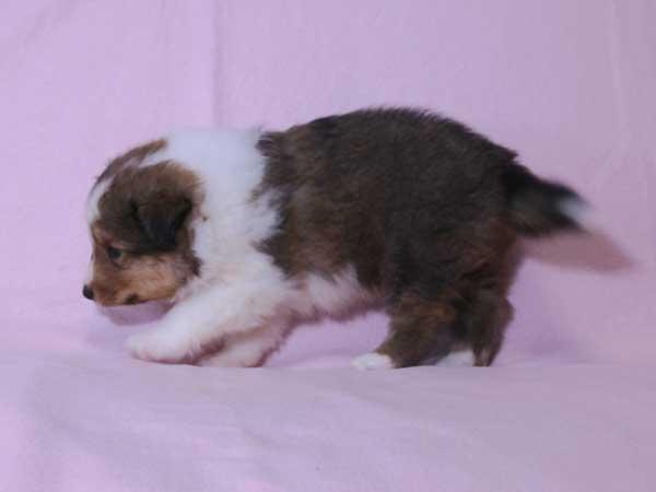 シェットランド・シープドッグ(シェルティー)子犬販売、セーブル&ホワイト、男の子(オス)、2015年8月12日生れ、神奈川県ブリーダー、ID9059