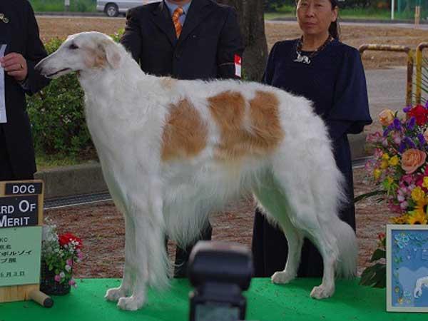 ボルゾイ子犬販売情報、男の子(オス)、ホワイト&クリーム、2015年10月3日生れ、神奈川県ブリーダー、父犬、ID9206