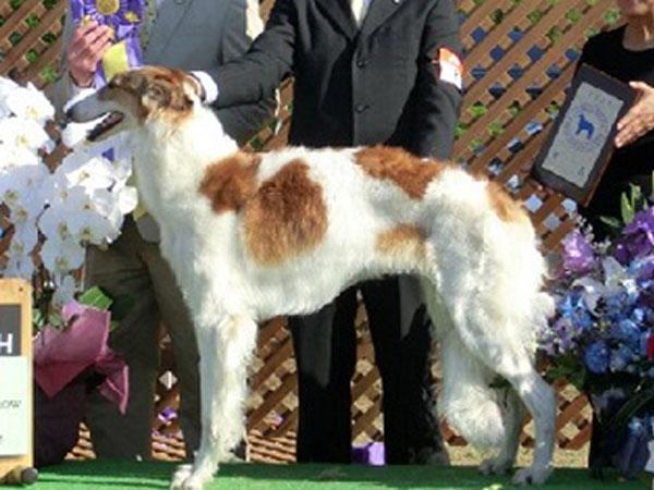 ボルゾイ子犬販売情報、男の子(オス)、ホワイト&クリーム、2015年10月3日生れ、神奈川県ブリーダー、母犬、ID9206