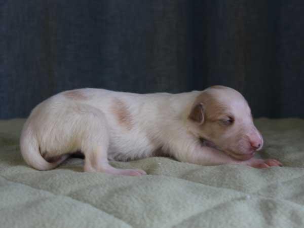 ボルゾイ子犬販売情報、女の子(メス)、ホワイト&クリーム、2015年10月3日生れ、神奈川県ブリーダー、ID9211