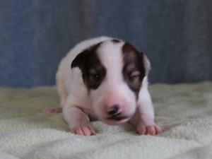 ボルゾイ子犬販売情報、女の子(メス)、ホワイト&レッド、2015年10月3日生れ、神奈川県ブリーダー、ID9212
