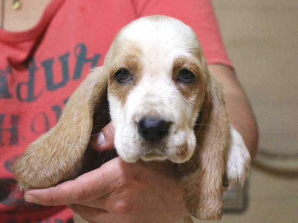 バセットハウンド子犬販売情報、女の子(メス)、レモンカラー、2015年8月29日生れ、神奈川県ブリーダー、ID9213
