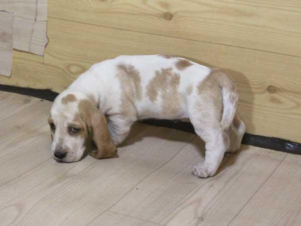 バセットハウンド子犬販売情報、女の子(メス)、レモンカラー、2015年8月29日生れ、神奈川県ブリーダー、ID9215