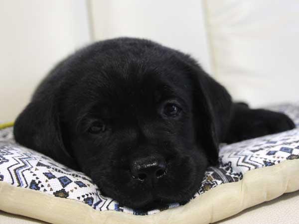 ラブラドールレトリーバー子犬販売情報、ブラック(黒ラブ)、男の子(オス)、2015年9月7日生れ、群馬県ブリーダー、ID9217