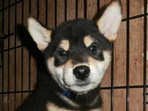 柴犬子犬販売情報、黒毛(黒柴)、男の子(オス)、2015年7月8日生れ、大阪府ブリーダー、ID9361