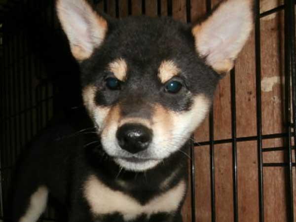 柴犬子犬販売情報、黒毛(黒柴)、男の子(オス)、 2015年7月25日生れ、大阪府ブリーダー、ID9362