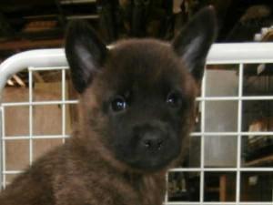 甲斐犬子犬販売情報、女の子(メス)、黒虎毛、2015年9月21日生れ、大阪府ブリーダー、ID9364