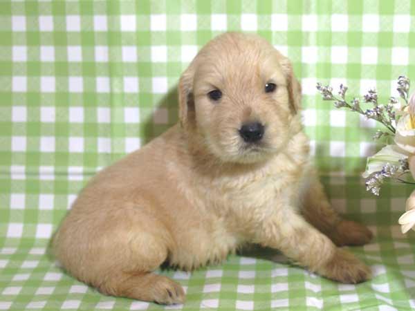ゴールデンレトリーバー子犬販売、ゴールド、女の子(メス)、2015年10月24日生れ、千葉県ブリーダー、ID9256