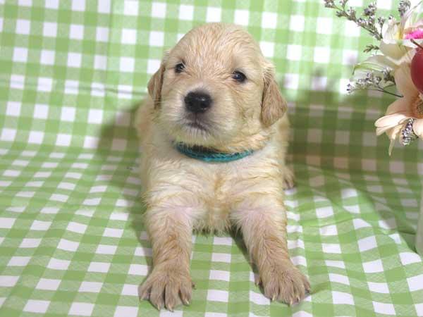 ゴールデンレトリーバー子犬販売、ゴールド、女の子(メス)、2015年10月24日生れ、千葉県ブリーダー、ID9260
