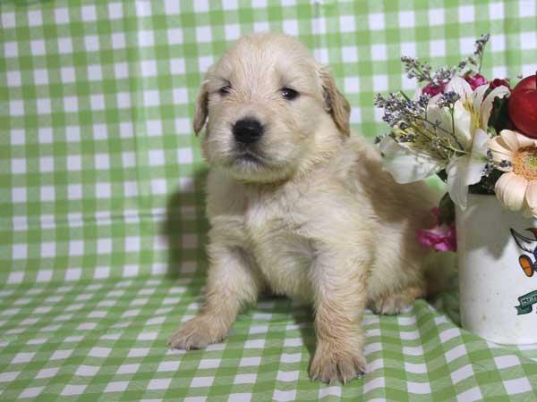 ゴールデンレトリーバー子犬販売、ゴールド、女の子(メス)、2015年10月24日生れ、千葉県ブリーダー、ID9257