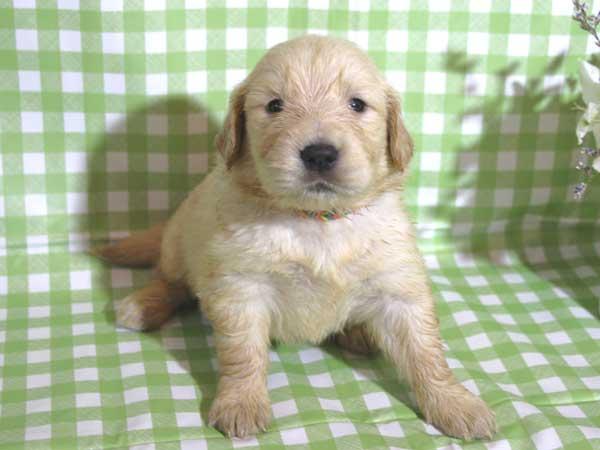 ゴールデンレトリーバー子犬販売、ゴールド、女の子(メス)、2015年10月24日生れ、千葉県ブリーダー、ID9259