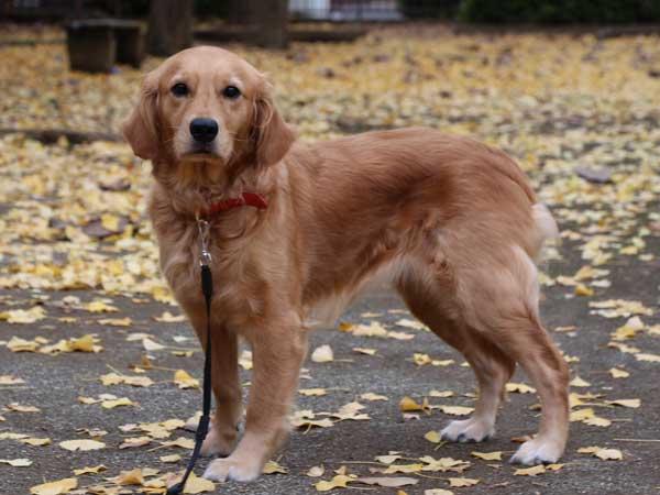 ゴールデンレトリーバー子犬販売、ブリーダー