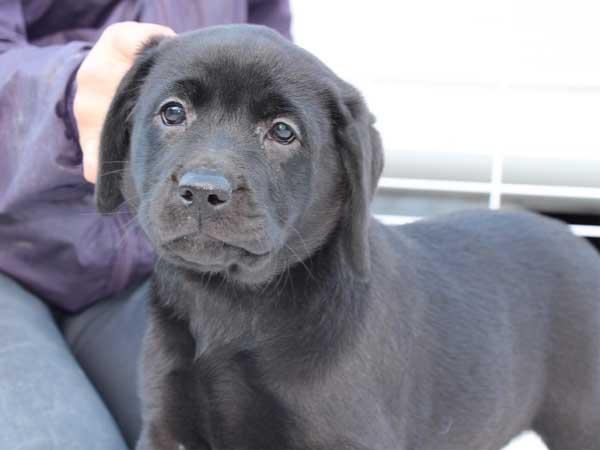 ラブラドールレトリーバー子犬販売、ブラック、女の子(メス)、2015年10月5日生れ、神奈川県ブリーダー、ID9161