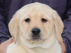 ラブラドールレトリーバー子犬販売、イエロー、女の子(メス)、2015年10月5日生れ、神奈川県ブリーダー、ID9164