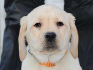 ラブラドールレトリーバー子犬販売、イエロー、女の子(メス)、2015年10月5日生れ、神奈川県ブリーダー、ID9163