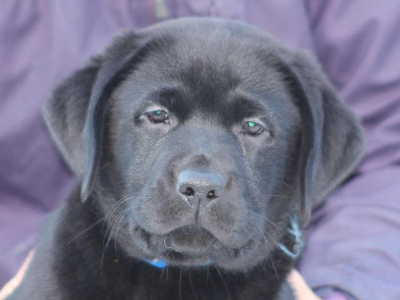 ラブラドールレトリーバー子犬販売、ブラック、男の子(オス)、2015年10月5日生れ、神奈川県ブリーダー、ID9159