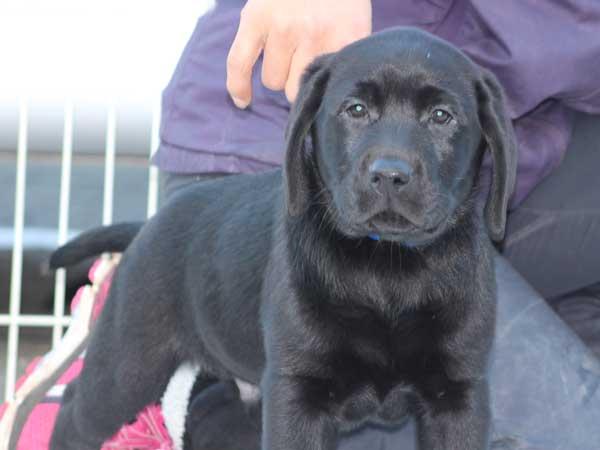 ラブラドールレトリーバー子犬販売、ブラック、男の子(オス)、2015年10月5日生れ、神奈川県ブリーダー、ID9160