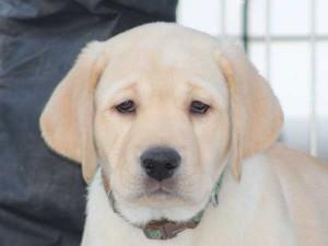 ラブラドールレトリーバー子犬販売、イエロー、男の子(オス)、2015年10月5日生れ、神奈川県ブリーダー、ID9162