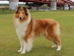 ラフ・コリー子犬販売情報、ブリーダー直販