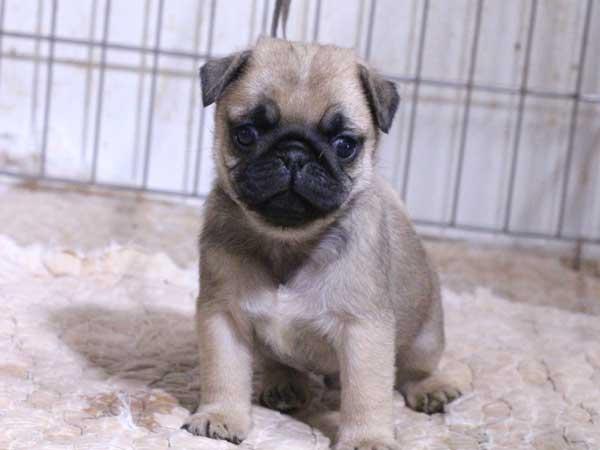 パグ子犬販売、フォーン、男の子(オス)、2015年12月2日産まれ、千葉県ブリーダー、ID9543