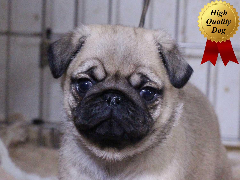 パグ子犬販売、フォーン、男の子(オス)、2015年11月30日産まれ、千葉県ブリーダー、ID9545
