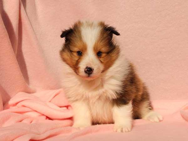 シェットランドシープドッグ(シェルティー、シェルティ)子犬販売情報、男の子(オス)、セーブル&ホワイト、2016年1月2日産まれ、神奈川県ブリーダー、ID9564