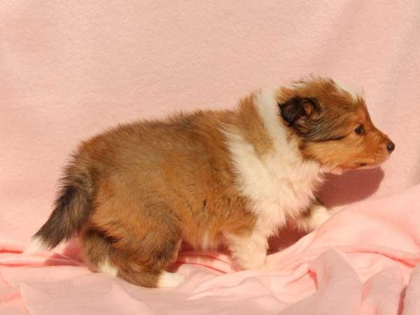シェットランドシープドッグ(シェルティー、シェルティ)子犬販売情報、男の子(オス)、セーブル&ホワイト、2016年1月2日産まれ、神奈川県ブリーダー、ID9562