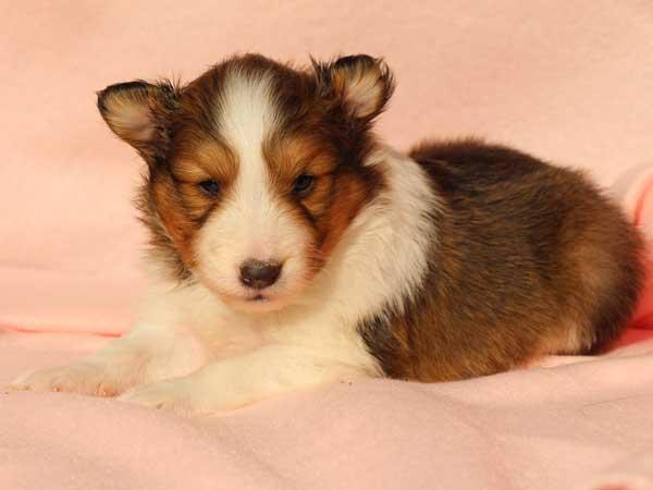 シェットランドシープドッグ(シェルティー、シェルティ)子犬販売情報、男の子(オス)、セーブル&ホワイト、2016年1月12日産まれ、神奈川県ブリーダー、ID9616