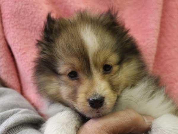 シェットランドシープドッグ(シェルティー、シェルティ)子犬販売情報、女の子(メス)、セーブル&ホワイト、2015年12月19日生れ、神奈川県ブリーダー、ID9617