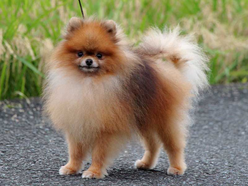 ポメラニアン子犬販売情報、成犬、ブリーダー直販