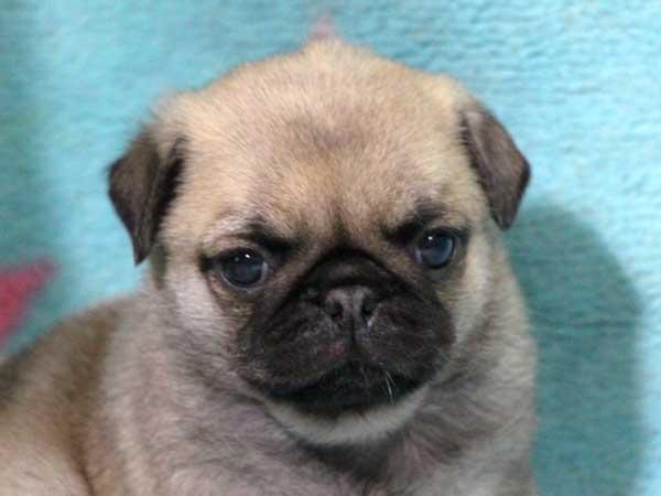 パグ子犬販売情報、男の子(オス)、フォーン、2016年1月27日生れ、千葉県ブリーダー、ID9709