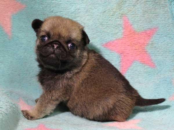 パグ子犬販売情報、男の子(オス)、フォーン、2016年2月4日生れ、千葉県ブリーダー、ID9710