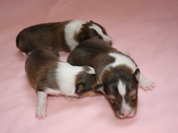 シェットランドシープドッグ(シェルティー、シェルティ)子犬販売情報、女の子、セーブル&ホワイト、2016年3月24日生れ、神奈川県ブリーダー、ID9788