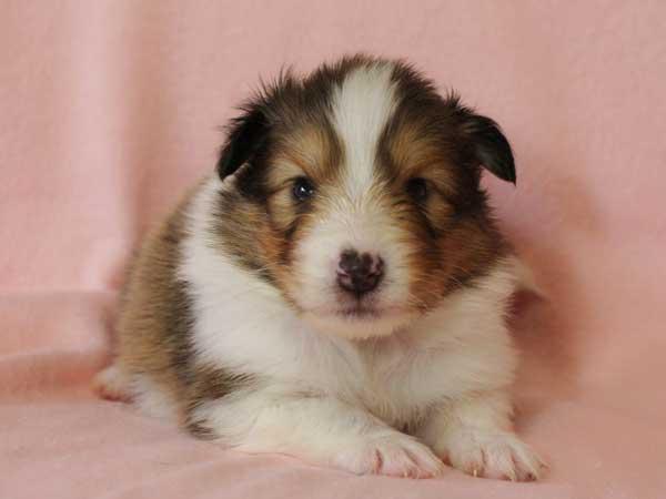 シェットランドシープドッグ(シェルティー、シェルティ)子犬販売情報、セーブル(セーブル&ホワイト)、男の子(牡、オス、Male)、2016年3月24日生れ、神奈川県ブリーダー、ID9789